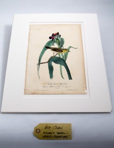 Audobon print, small headed fly catcher